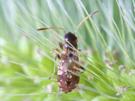 ヨツボシヒョウタンナガカメムシの幼虫_1310061