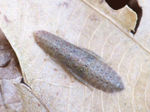 コミミズクの幼虫_1312141