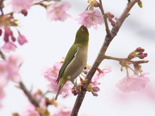 Mejiro_1503012