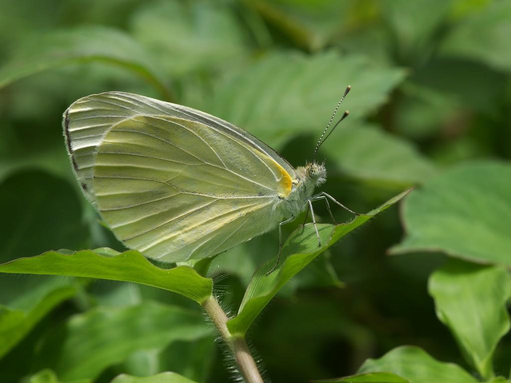 モンシロチョウの画像 p1_28