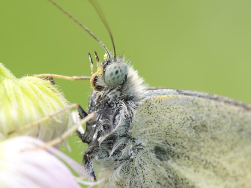 モンシロチョウの画像 p1_5
