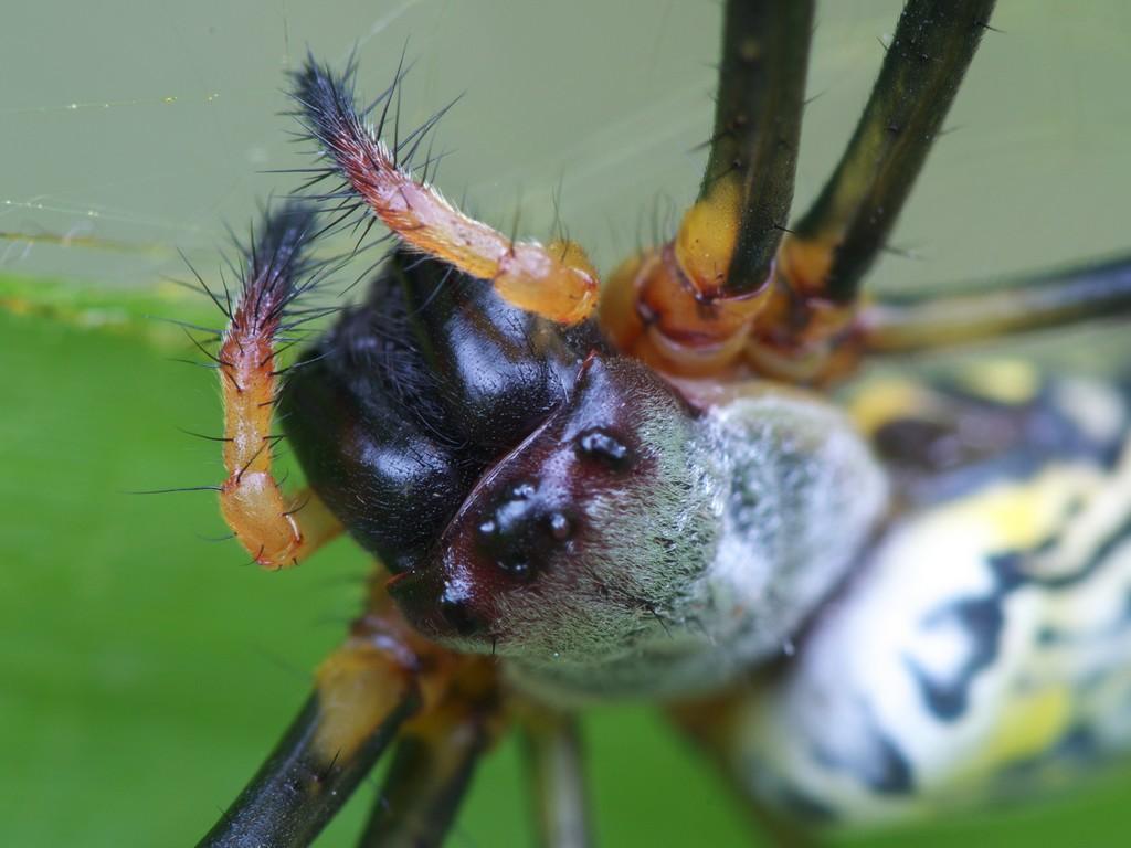 ジョロウグモの画像 p1_39