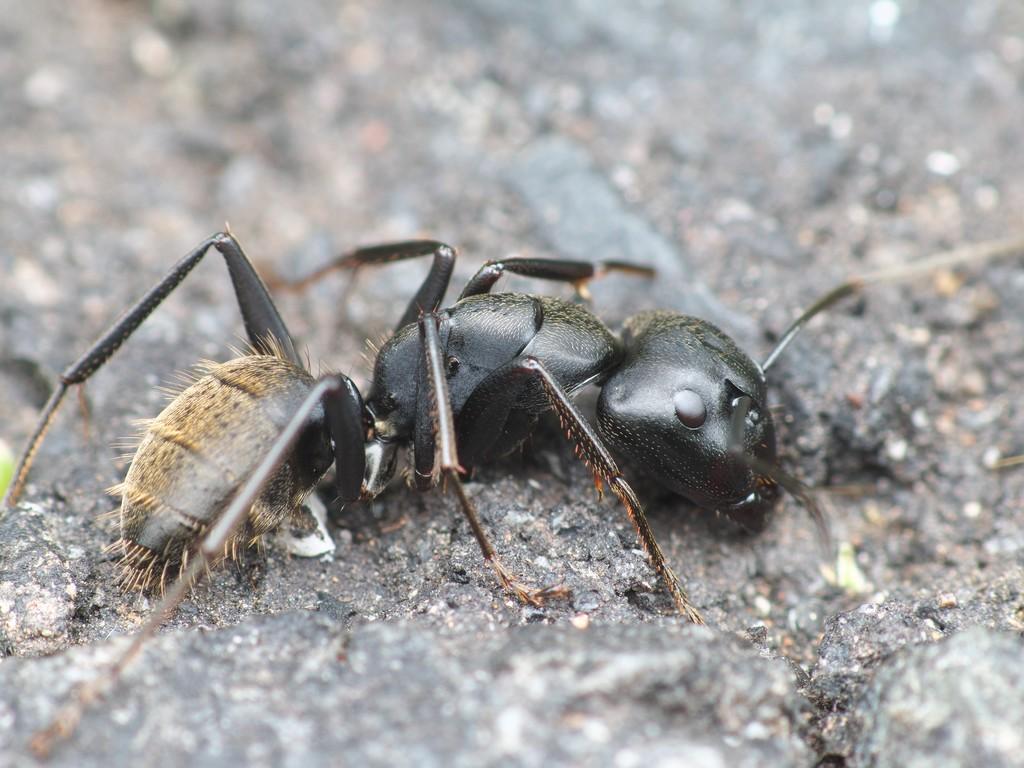 クロオオアリの画像 p1_11