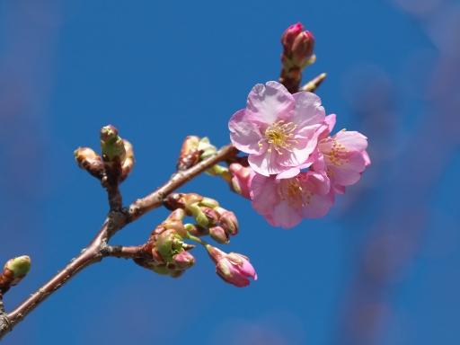 Sakura_20020102